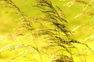 Golden Grass Seeds Dance in the Wind