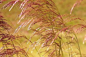 Purple tint grass in the wind