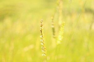 Golden Grass Seed Heads