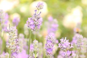 Soft blue lavender flowers