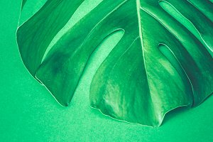 monster leaves on a green background