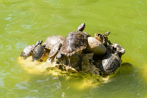 Family of turtles in a pond