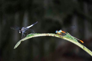 Couple Dragonfly Summer Wildlife