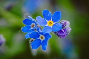 Forget Me Nots #1 - Blue Flowers