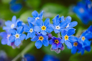 Forget Me Nots #2 - Blue Flower