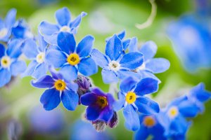 Forget Me Nots #3 - Blue Flowers