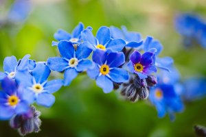 Forget Me Nots #4 - Blue Flowers
