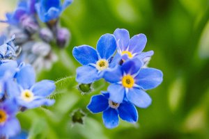 Forget Me Nots #5 - Blue Flowers