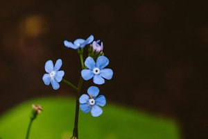 Forget Me Nots #6 - Blue Flower