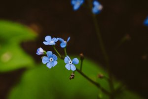 Forget Me Nots #7 - Blue Flower
