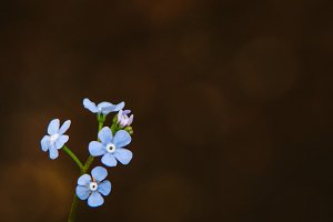 Forget Me Nots #8 - Blue Flowers