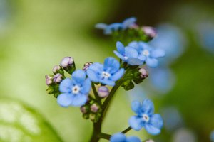 Forget Me Nots #10 - Blue Flowers