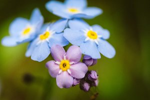 Forget ME Nots #11 - Blue Flowers