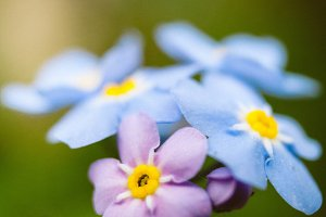 Forget Me Nots #12 - Blue Flowers
