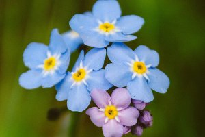 Forget Me Nots #13 - Blue Flowers