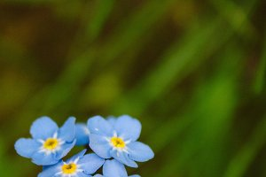 Forget Me Nots #14 - Blue Flowers