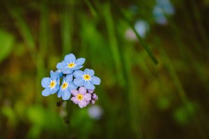 Forget Me Nots #15 - Blue Flowers