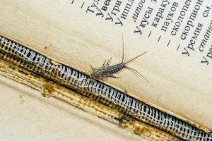 Thermobia domestica. Pest books and