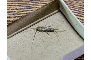 silverfish in a matchbox. Pest books