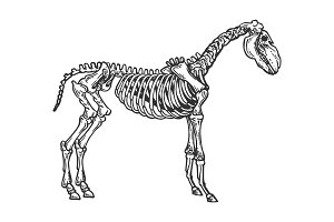 Horse animal skeleton engraving