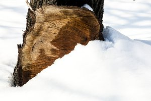tree stump in the snow