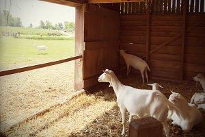 goals in barn
