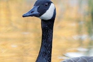 Canada Goose Wading