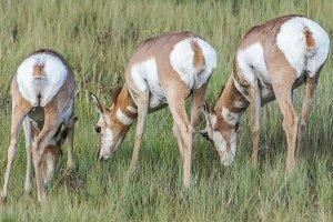 Pronghorn Antelopes rear view.
