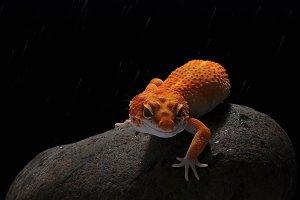 gecko, leopard lizard gecko,