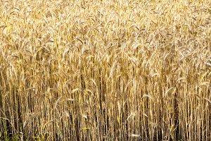 yellow dry rye