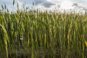 Young green wheat ears on a