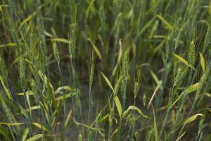 Young green Barley field agriculture