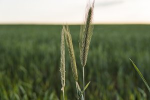 Close up on young green wheat ears