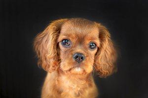 Cute cavalier spaniel puppy