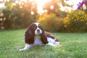 Dog lying on the grass in sunset lig
