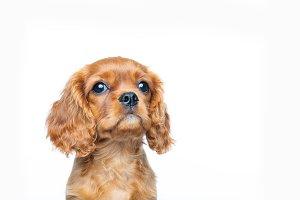 Cavalier spaniel puppy looking up