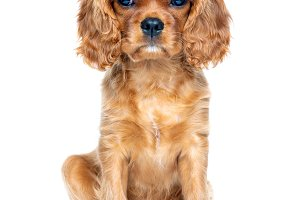 Portrait of cavalier spaniel puppy i