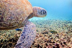 Underwater photos of Green Sea Turtl