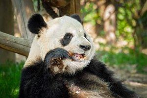 Giant panda bear in China