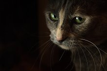 Cat Closeup  by  in Animals