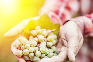 White wine grapes in the male hands.