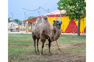 A two-humped camel in the city park