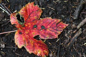 Bright red autumn leaf on ground
