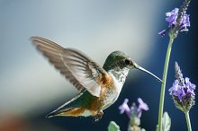 Hummingbird #11 by  in Animals
