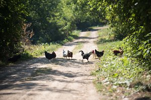 Chickens and rooster cross the road