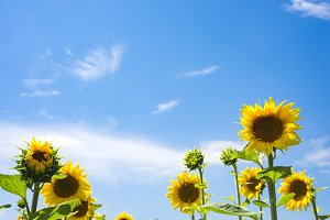 The charming landscape of sunflowers
