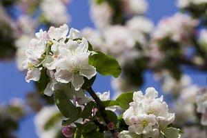 Apple tree blooming white.