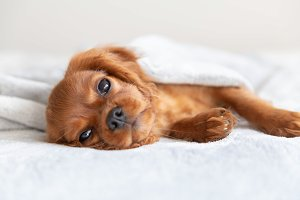 Cute puppy relaxing under the blanke