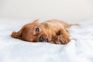 Cute puppy relaxing on the soft blan