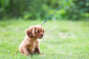 Puppy learnig to walk on the leash